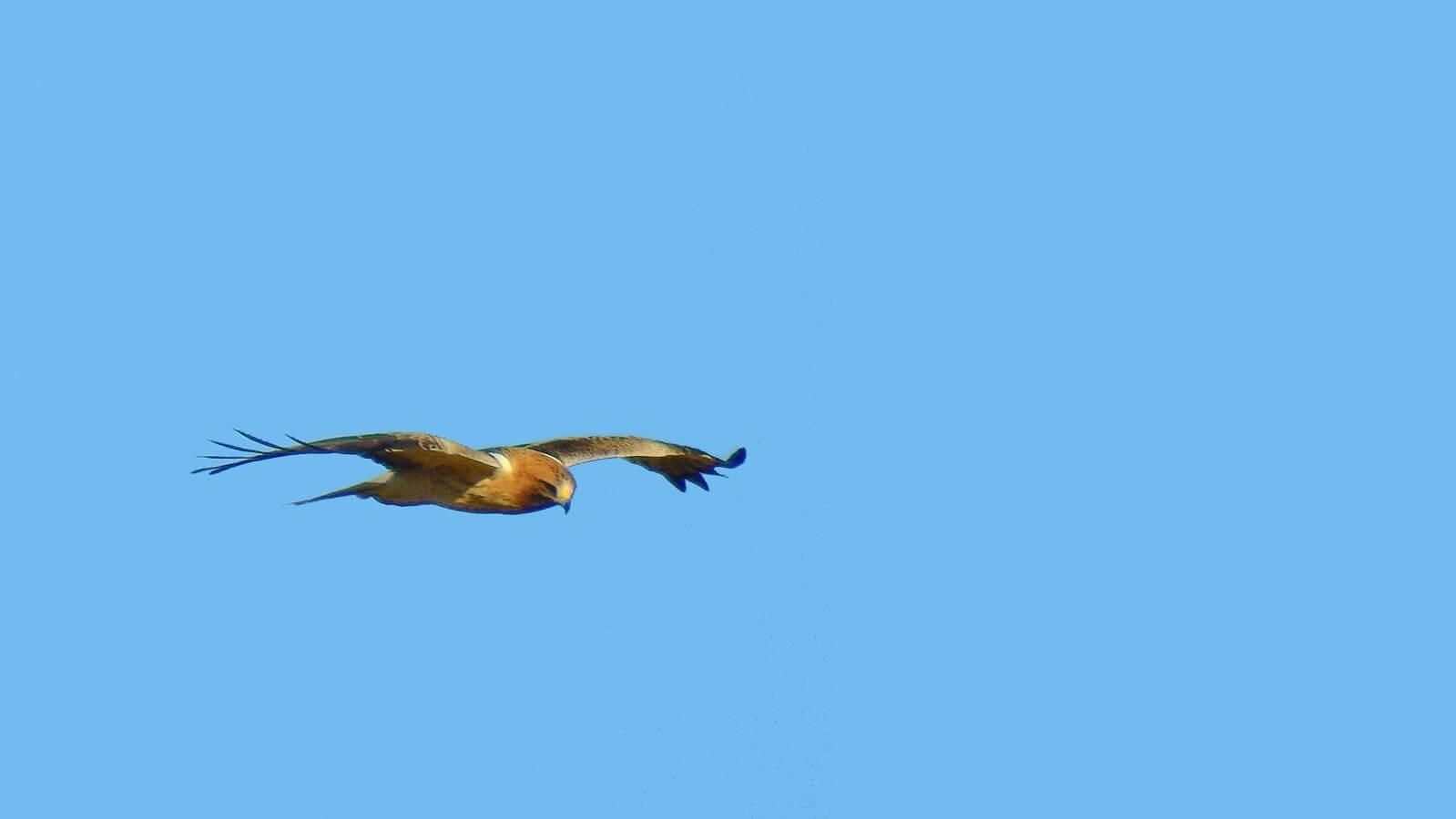 Booted Eagle // Águila calzada
