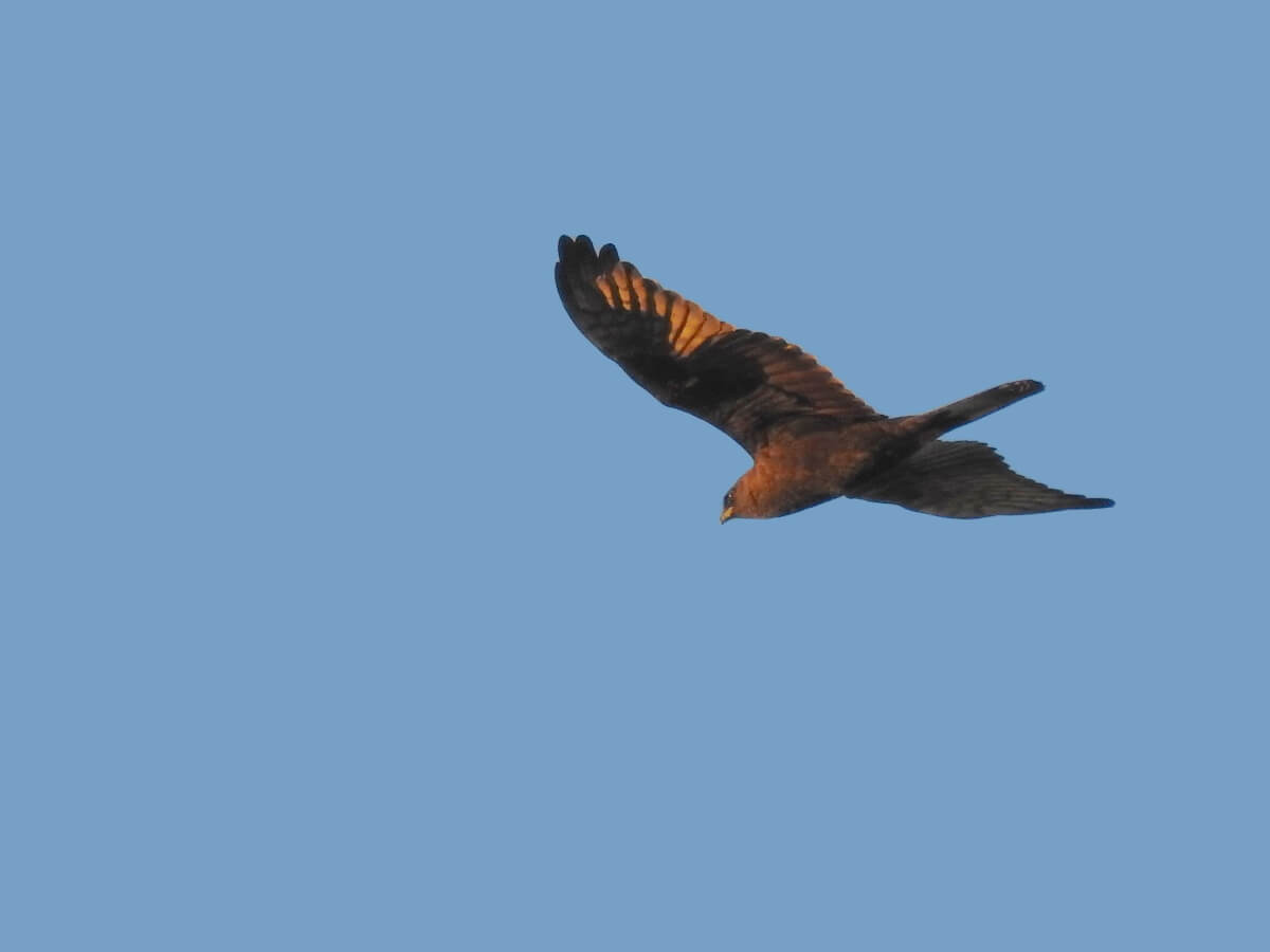 Montagu's Harrier // Aguilucho cenizo