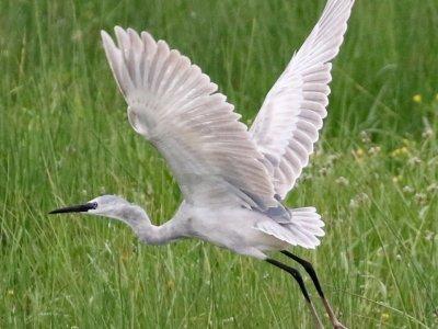 Hybrid Egret
