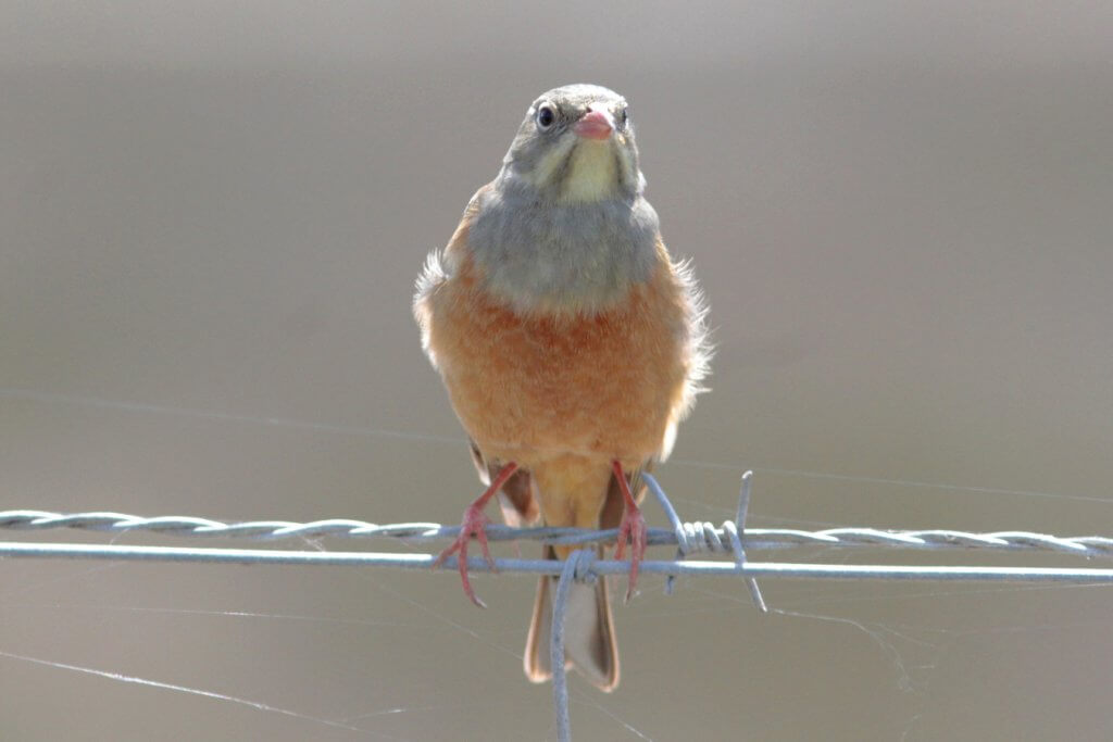 Ortolan Bunting, Doñana National Park // Paul Gnodde (Holland)