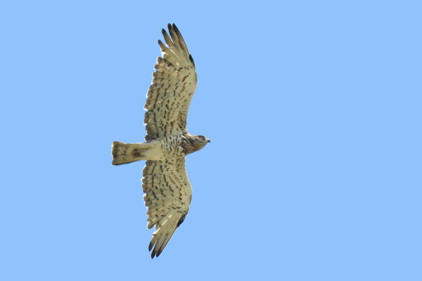 Short-toed Snake-eagle // Culebrera europea