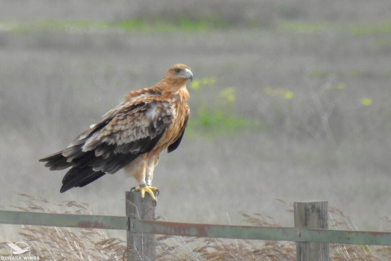 Spanish Imperial Eagle / Águila Imperial Ibérica
