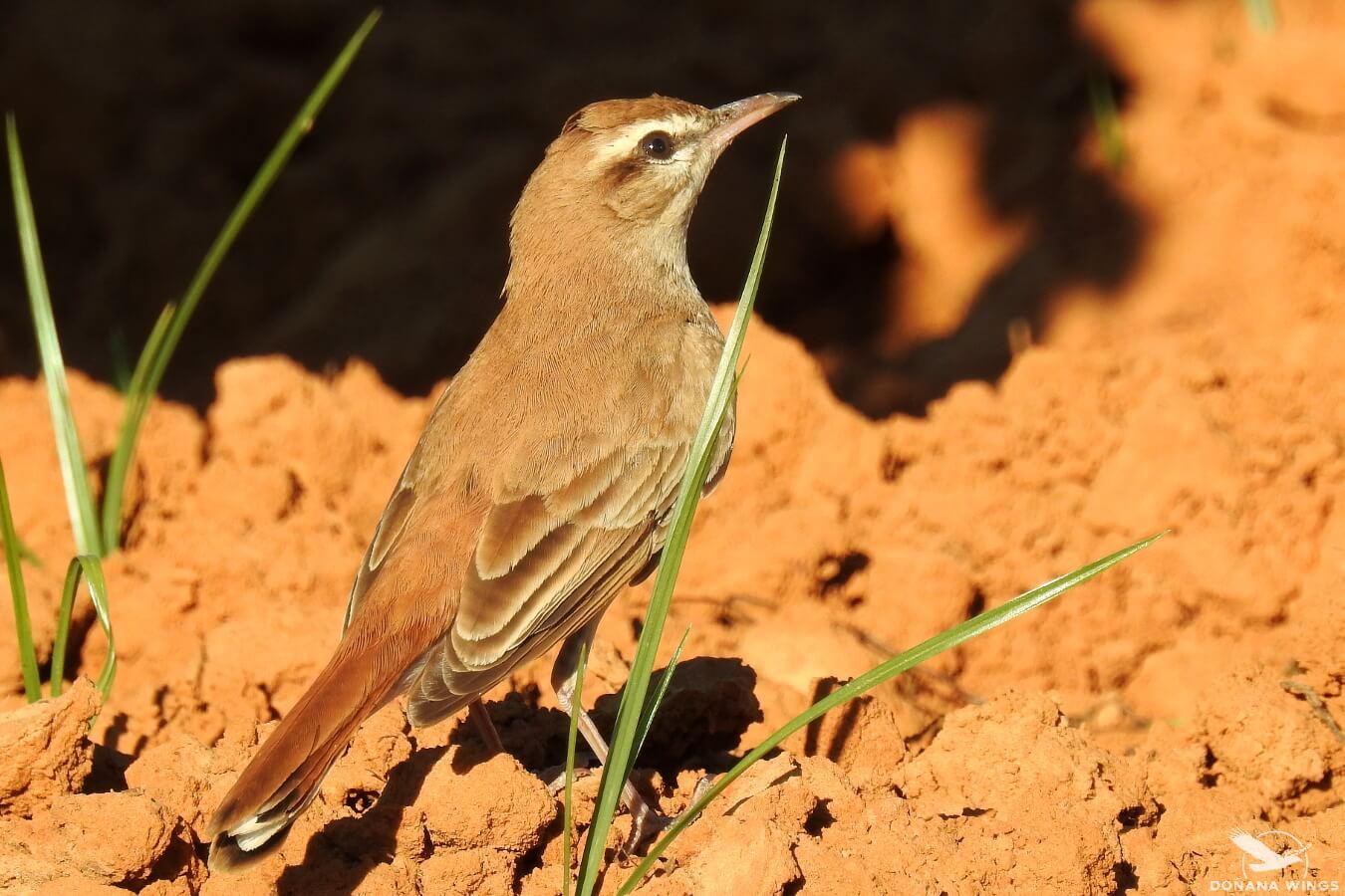 Alzacola rojizo / Rufous-tailed Scrub-robin