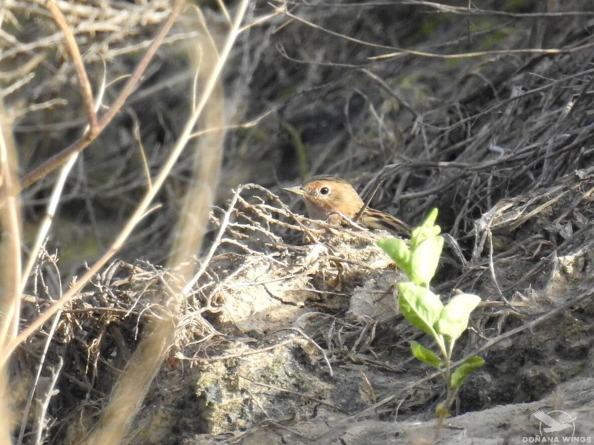 Red-throated Pipit at Brazo del Este (Seville)