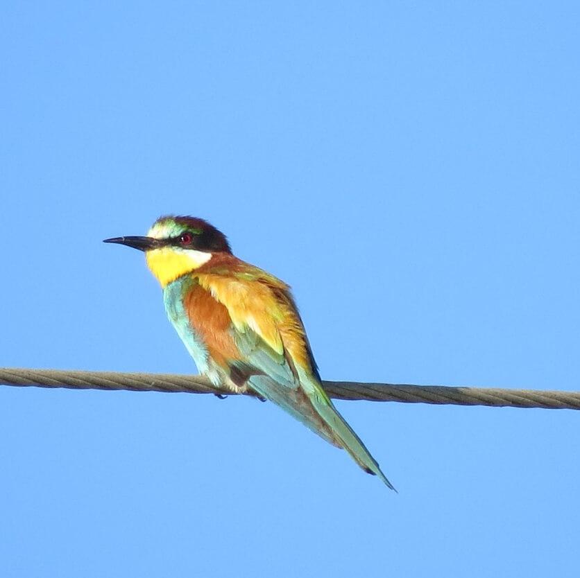 European Bee-eater, Brazo del Este // Andre (USA)