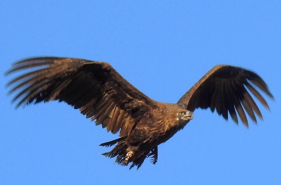Eurasian Black Vulture / Buitre negro