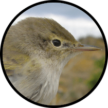bonelli's warbler andalusian birds