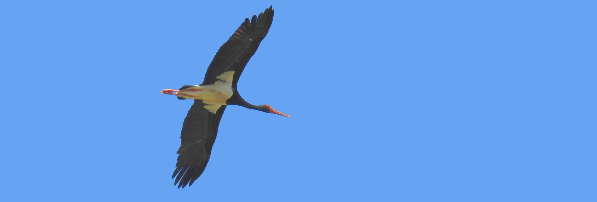 Black Stork Sierra Norte Sevilla