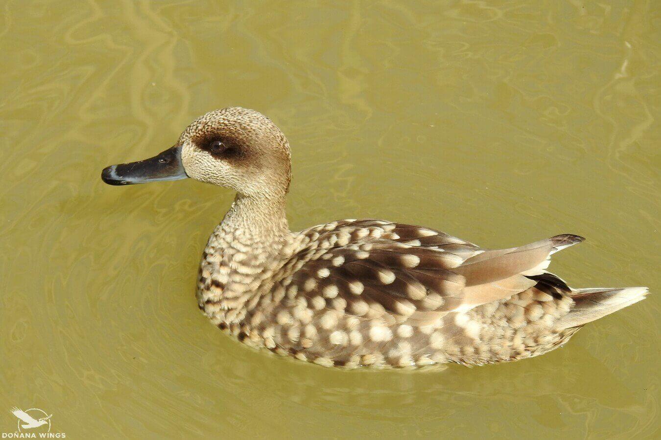 Marbled Duck / Cerceta pardilla