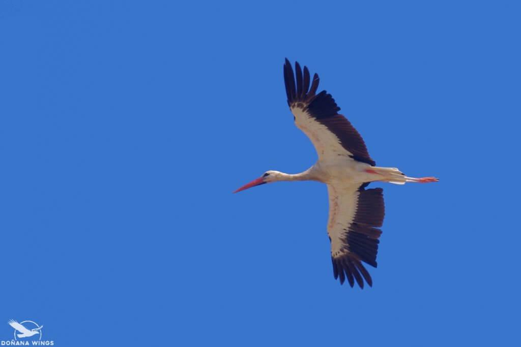 White Stork / Cigüeña blanca