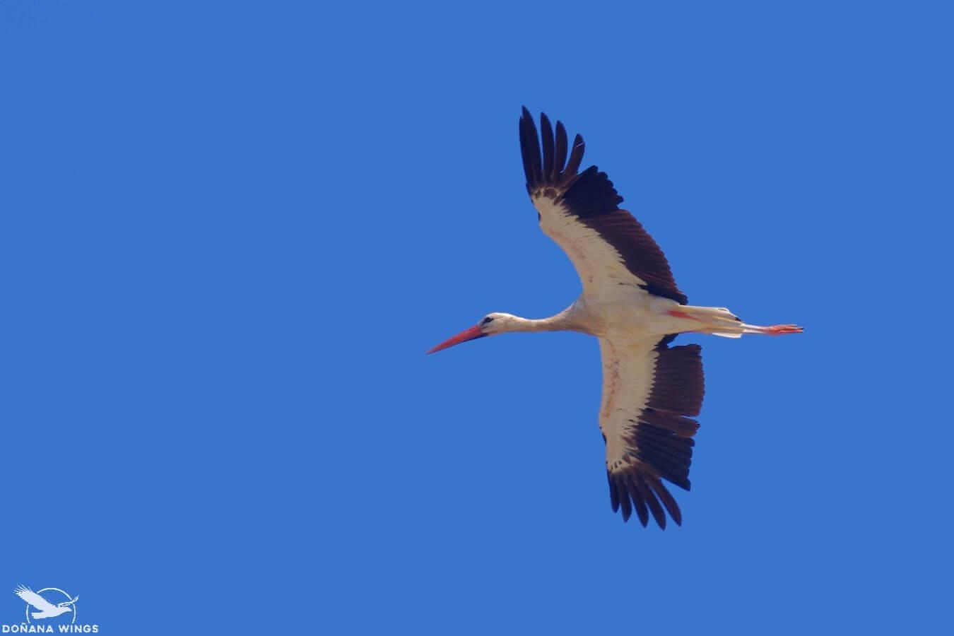 White Stork // Cigüeña blanca
