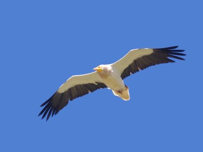 Migración de aves planeadoras en el Estrecho de Gibraltar