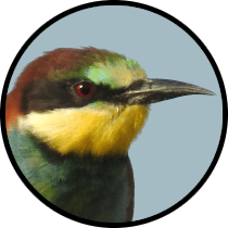 european bee-eater andalusian birds