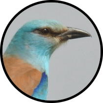 european roller andalusian birds