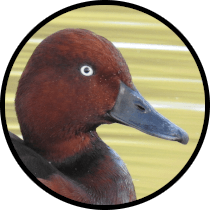 ferruginous duck andalusian birds