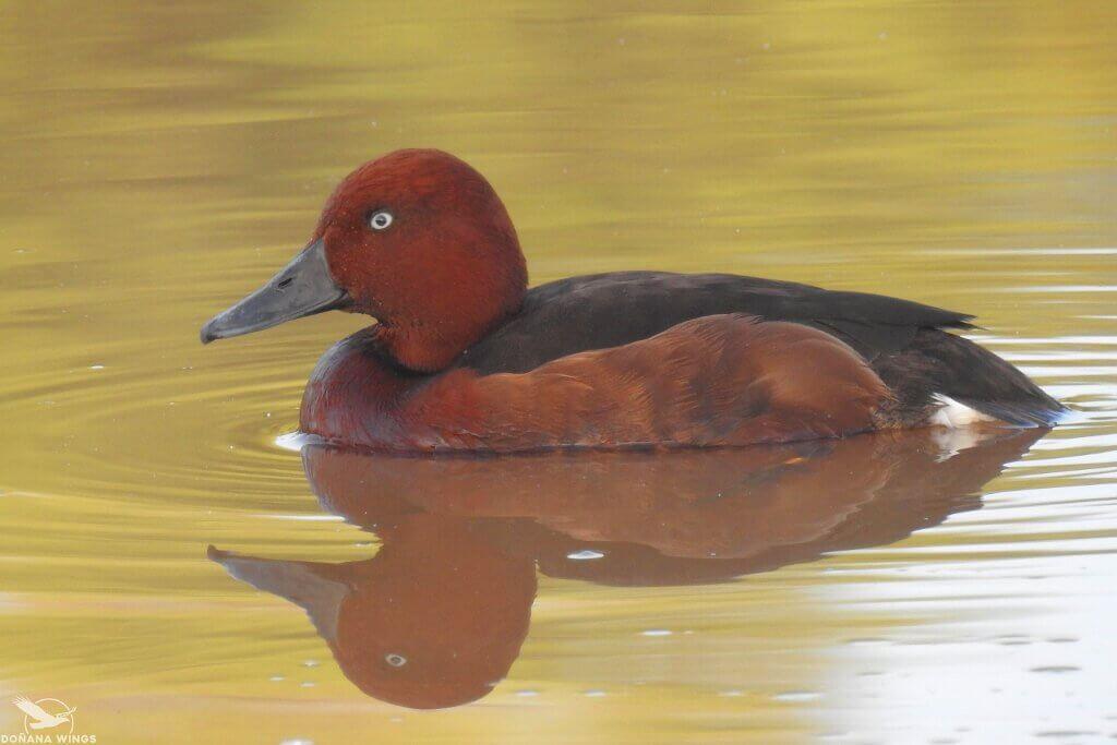 Ferruginous Duck / Porrón pardo