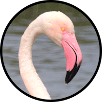greater flamingo andalusian birds