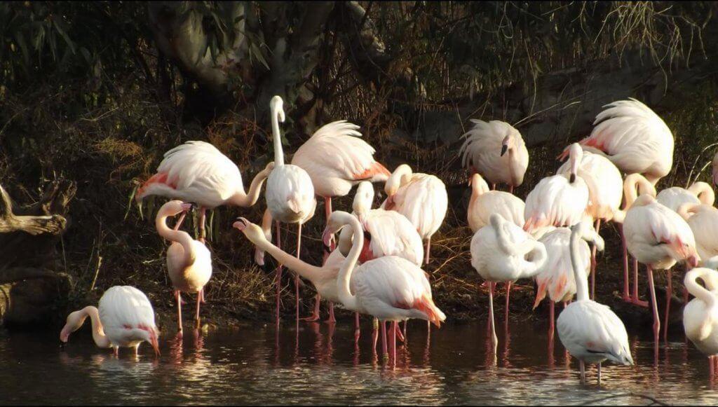 Greater Flamingo, Doñana // Luke (Britain)
