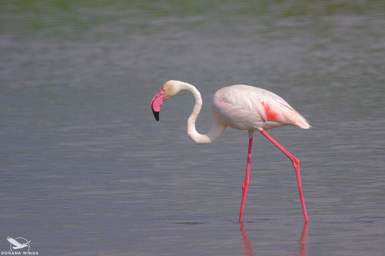 Greater Flamingo / Flamenco común