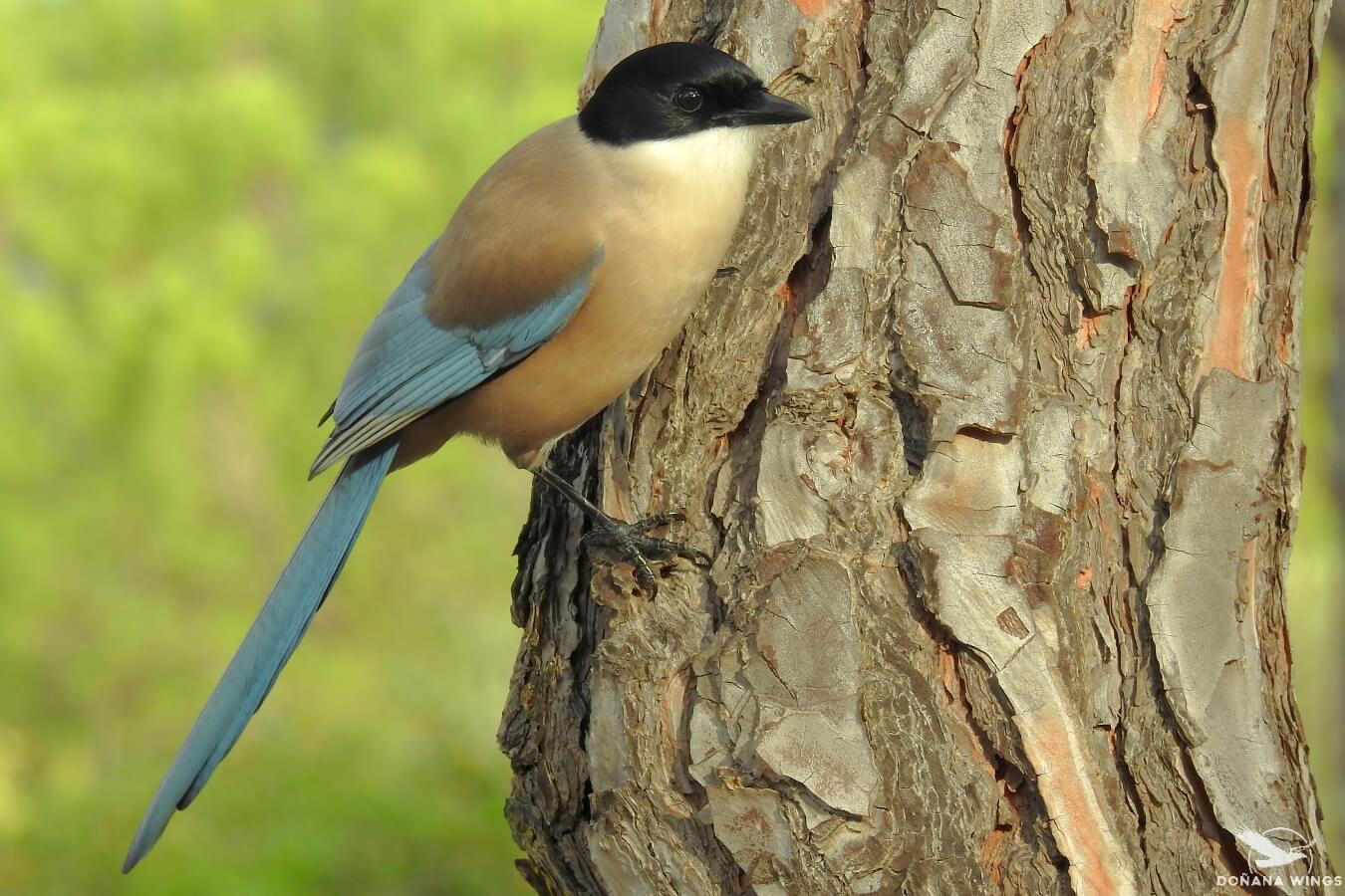 Iberian (Azure-winged) Magpie / Rabilargo ibérico