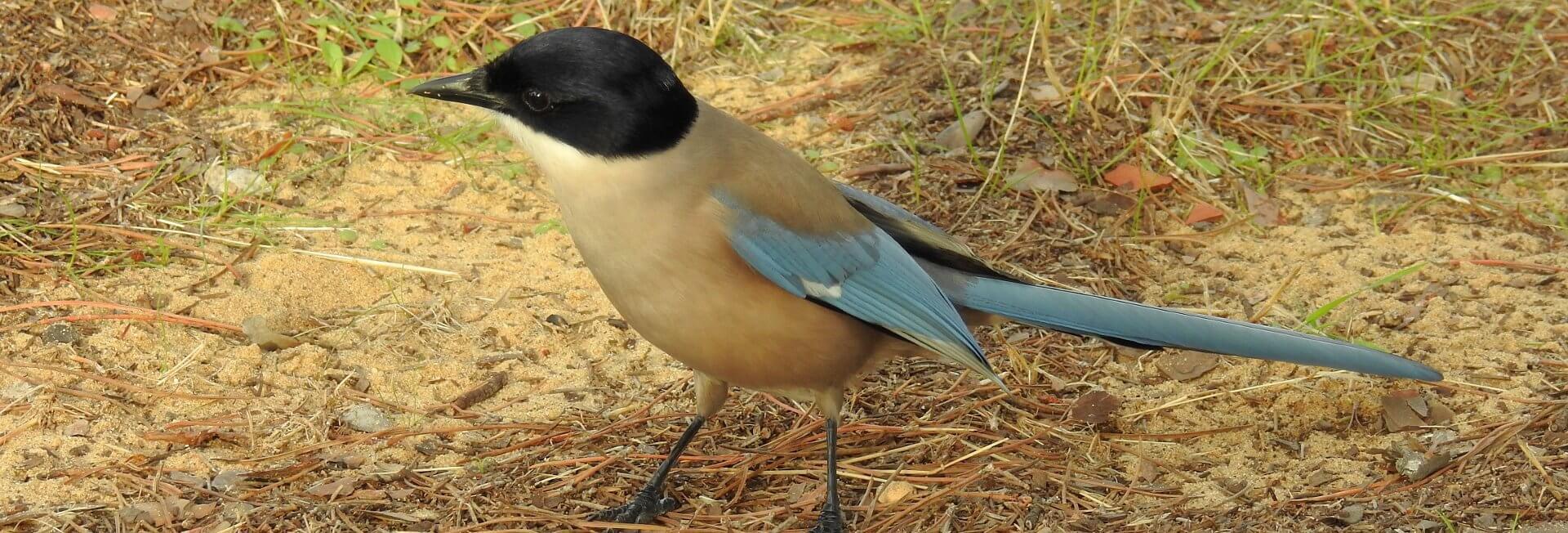 Iberian Magpie Birding Andalusia