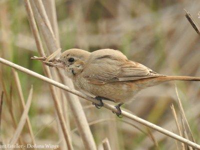 Isabelline Shrike in Doñana!