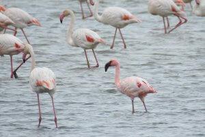 Lesser Flamingo, Doñana