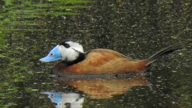 White-headed Duck / Malvasía cabeciblanca