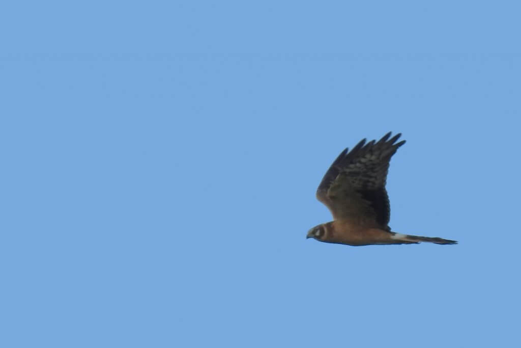 Pallid Harrier, Doñana 13.12.2018 // Aguilucho papialbo, Doñana 12.12.2018