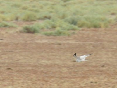 Pallid Harrier in Doñana