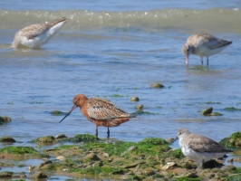 Bar-tailed Godwit and Red Knot