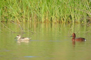 Ferruginous and Marbled Duck