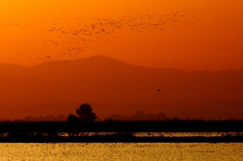 Greater Flamingos at sunrise