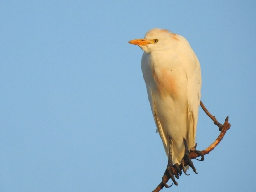 Cattle Egrett