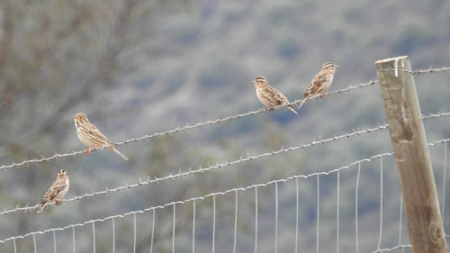 Rock Sparrows and Corn Bunting