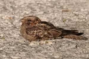 Red-necked Nightjar