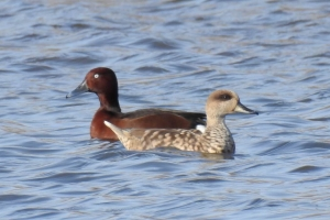Marbled Duck and Ferruginous Duck
