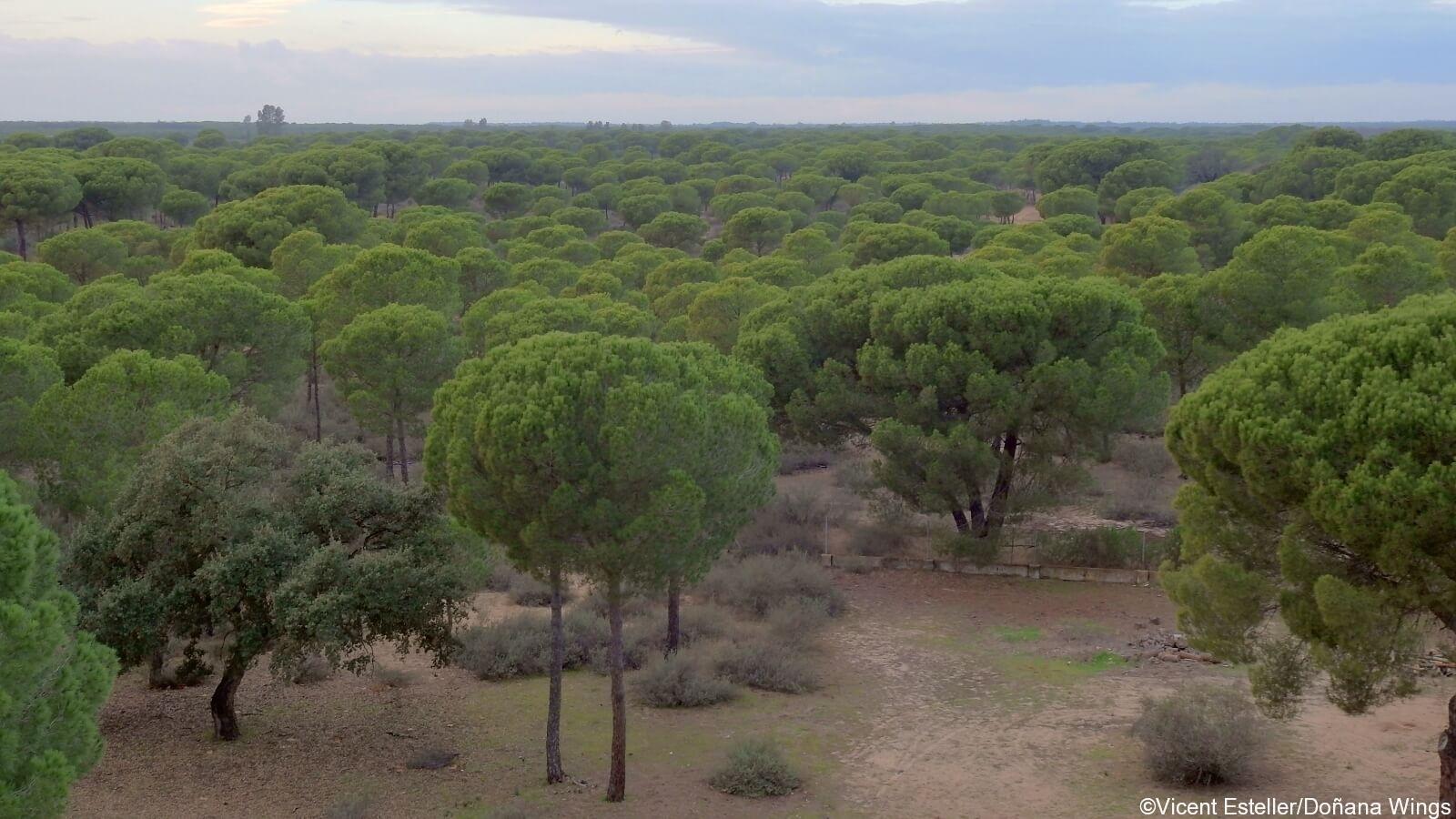 Image result for umbrella pine plantation donanaa