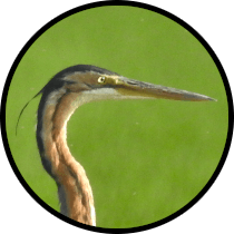 purple heron andalusian birds
