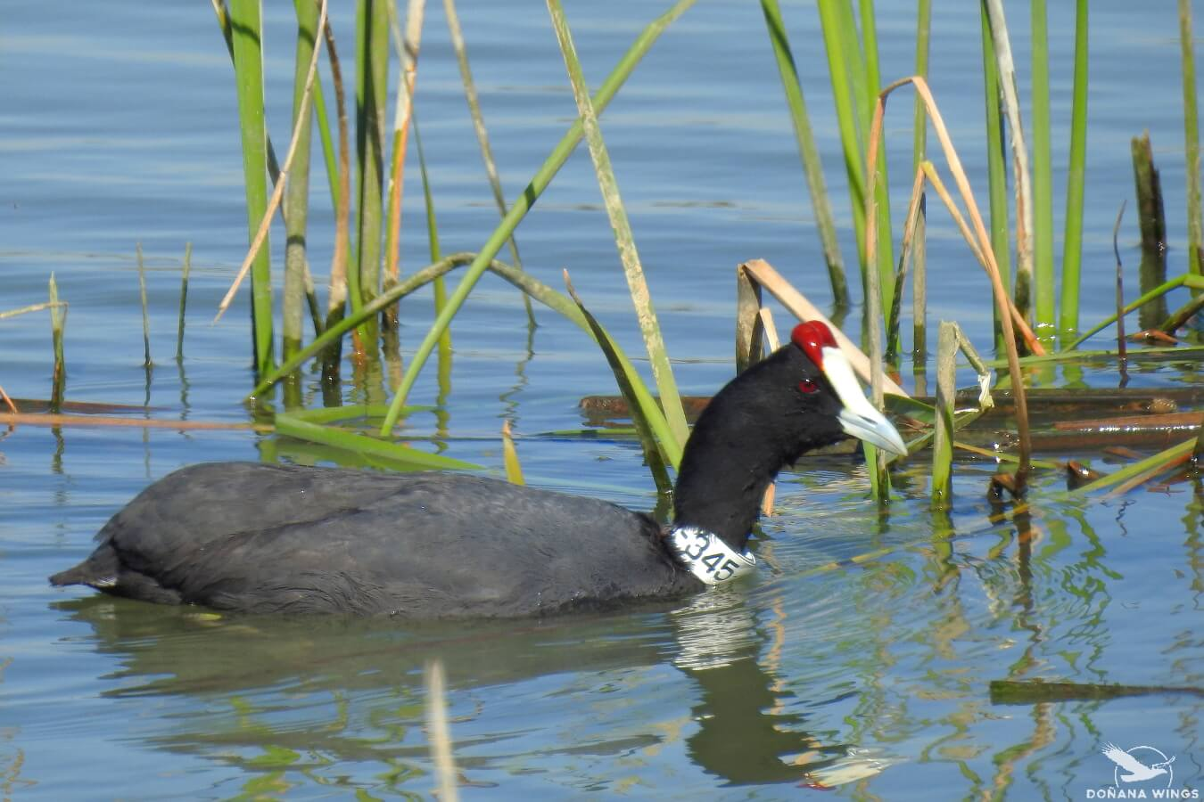Red-knobbed Coot / Focha cornuda