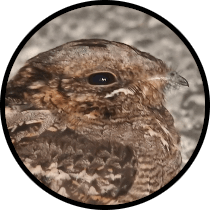 red-necked nightjar andalusian birds