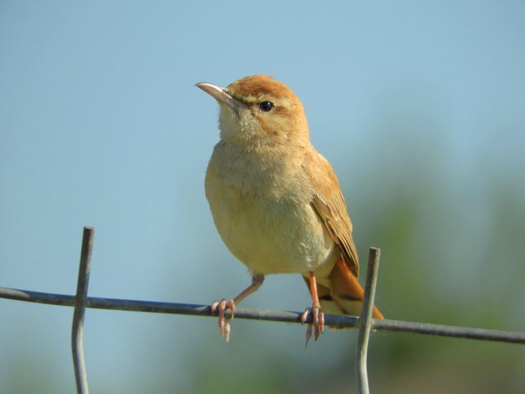 Rufous-tailed Scrub-robin, Trebujena // Josep Puentes (Spain)