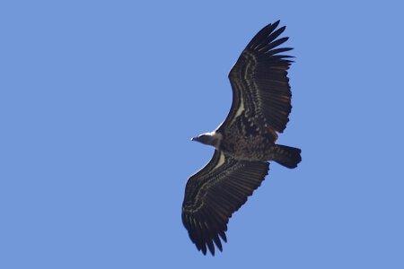 Ruppell's Griffon Vulture // Buitre moteado