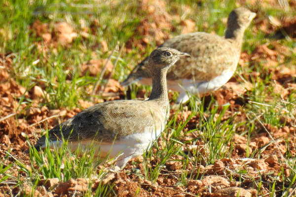Observación de aves en la campiña sevillana