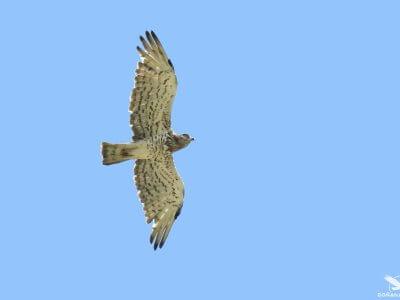Migration of soaring birds in the Strait of Gibraltar