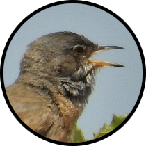 spectacled warbler andalusian birds.png