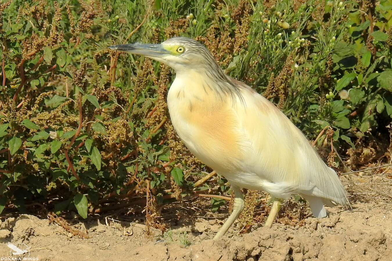 Squacco Heron / Garcilla cangrejera