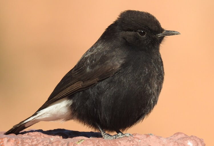 Black Wheatear // Collalba negra