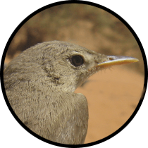 western olivaceous warbler andalusian birds