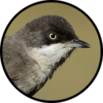 western orphean warbler andalusian birds